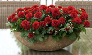 Комнатная хризантема тянется вверх и не цветет