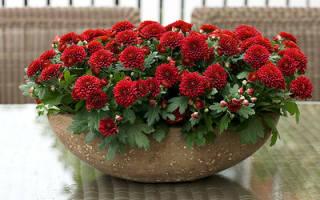 Почему не цветет комнатная хризантема