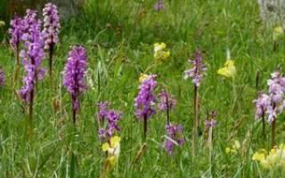 Дикая орхидея цветок другое название