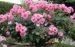 Как подготовить розы к зиме в подмосковье