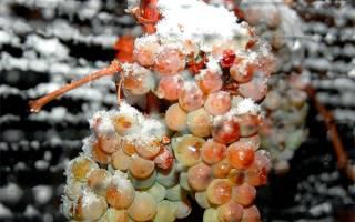 Подготовка виноградника к зиме в подмосковье