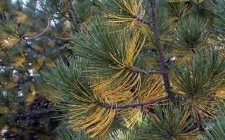 Олива дерево в домашних условиях