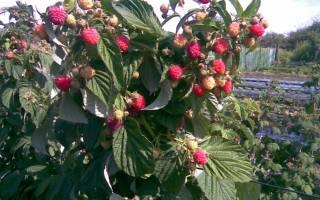 Посадка малины черенками осенью
