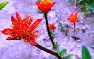 Цветок гемантус уход в домашних условиях