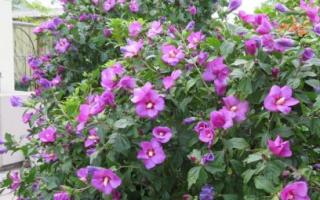 Выращивание гибискуса в открытом грунте