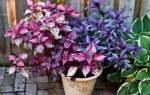 Цветная крапива комнатное растение