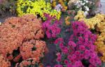 Почему не цветет хризантема в саду