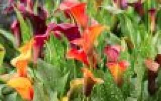 Калы цветы выращивание в саду