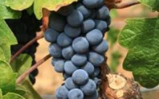 Виноград изабелла в подмосковье посадка и уход