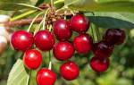 Какие сорта вишни лучше сажать в подмосковье