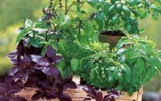 Можно ли вырастить базилик дома