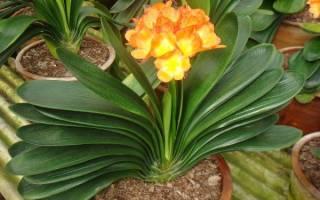 Кливия желтеют листья что делать
