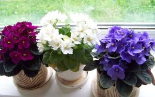 Чем удобрять фиалки для обильного цветения