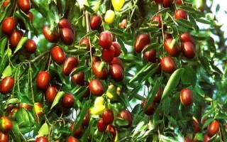 Унаби дерево жизни или китайский финик
