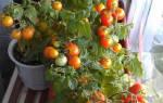 Выращивание комнатных помидор в домашних условиях
