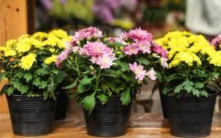 Хризантемы комнатные выращивание и уход