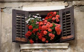 Цветок пеларгония как ухаживать