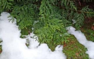Как сохранить тую зимой в саду