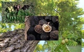 Черный орех где растет в России