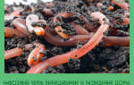 Чем кормить навозных червей в домашних условиях