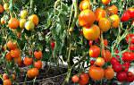 Формирование томатов в теплице схема