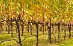 Обрезка взрослого винограда осенью
