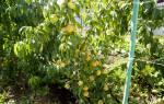 Персик в подмосковье посадка и уход