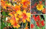 Цветы крокосмия посадка и уход