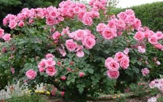 Розы виды и сорта для Российских садов