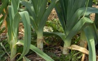 Выращивание лука порея в подмосковье