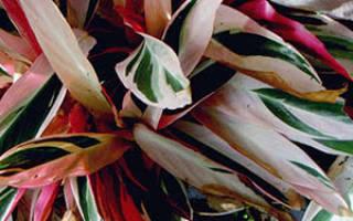 Цветок строманта как ухаживать