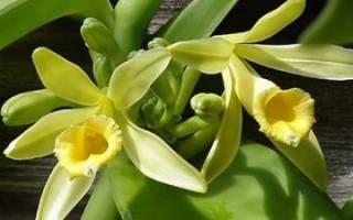 Цветок ванили рисунок