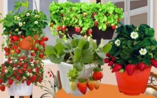 Как из ягодки вырастить викторию ремонтантную