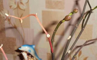 Можно ли вырастить орхидею из цветоноса