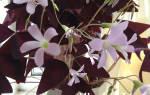 Цветок с треугольными фиолетовыми листьями