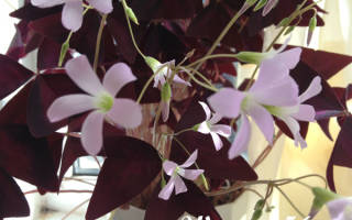 Цветок с фиолетовыми листьями треугольником