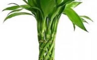 Бамбук комнатное растение уход в воде