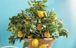 Болезни лимона комнатного липкие листья