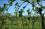 Как вырастить виноград в средней полосе России