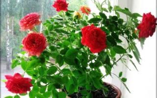 Комнатные розы болезни и вредители