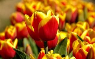 Когда можно садить тюльпаны осенью