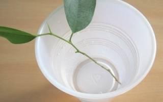 Можно ли вырастить фикус из листа