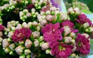 Цветок каландива уход в домашних условиях