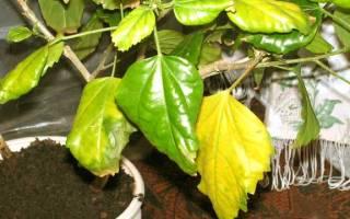 Гибискус сбрасывает листья что делать