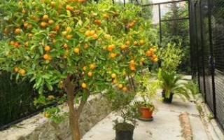 Выращивание мандаринов в теплице