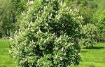 Как размножается каштановое дерево
