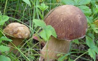 Как развести грибы на дачном участке