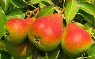 На какой год плодоносит груша после посадки