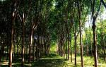 Где растет каучуковое дерево