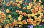 Дубки цветы посадка осенью